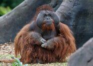 Orangutan, Bornean