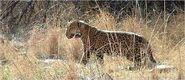 Panthera onca arizonensis