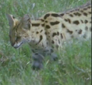 TASwSaJ Serval