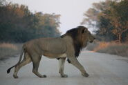 Transvaal lion (Panthera leo krugeri)