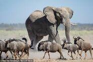 Wildebeests and Elephant