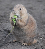 Black-tailed Prairie Dog (Cynomys ludovicianus) eating in Zoo Budapest 006