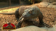 Cincinnati Zoo Komodo Dragon
