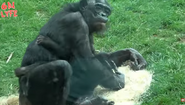 Columbus Zoo Bonobo