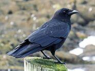 Crow, American (V2)