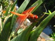 Flame Skimmer.jpg