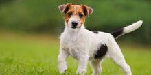 Jack-Russell-Terrier-2.jpg