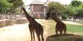 Reid Park Zoo Giraffes