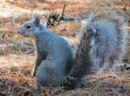 Squirrel, Western Grey