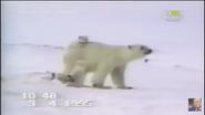 UTAUC Polar Bears