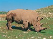 ANOTHER WHITE RHINO COVERED IN MUD