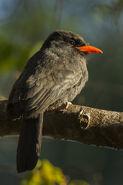 Black-fronted Nunbird - Brazil H8O2216