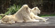 Canberra Zoo White Lions