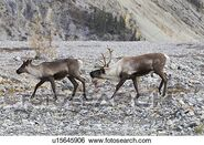 Caribou Bull and Cow