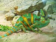 Chameleon, veiled