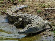Crocodile, Eastern Nile