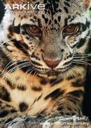 Diards-clouded-leopard