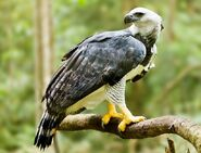 Harpy-eagle-rainforest-820x627