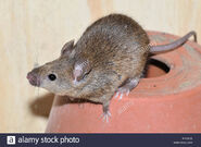 House Mouse (V3)