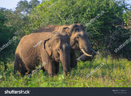Indian Elephant Bull and Cow