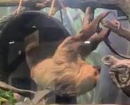 Kansas City Zoo Sloth