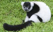 Lemur, Black and White Ruffed