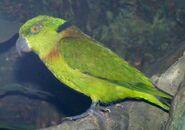 Lovebird, Black-Collared (V2)