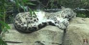 Phelidelphia Zoo Snow Leopard