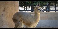 San Diego Zoo Klipspringer