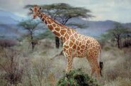 Somali Or Reticulated Giraffe 600