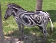 Tampa Safari Zebra-02