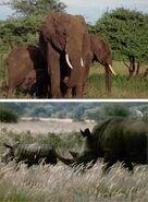 Three Rhinos One Elephant