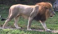 Zoo Miami Lion