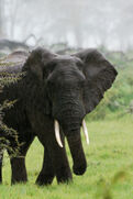 5501884-elephants-in-the-rain