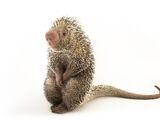 Andean Porcupine