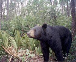 A Florida Black Bear.jpg