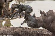 Black Rhinoceros Saves Zebra from Drowning