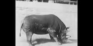 Bronyx Zoo Black Rhino