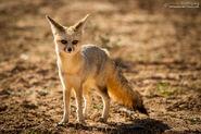 Cape Fox (V2)