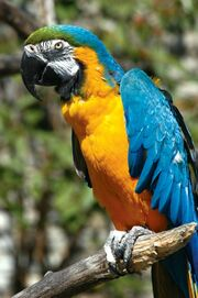 Macaw, Blue and Gold.jpg
