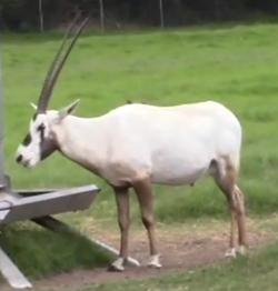 Natural Bridge Wildlife Ranch Arabian Oryx.png