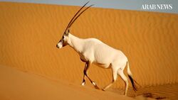 One Arabian Oryx.jpg