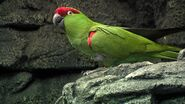 Parrot, Thick-Bellied
