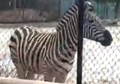 Rodger Williams Park Zoo Zebra