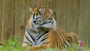 The Zoo Tiger