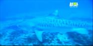 Untamed and Uncut Tiger Shark