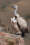 Vulture, Cape
