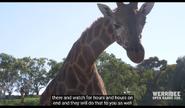 Werribee Open Range Zoo Giraffe