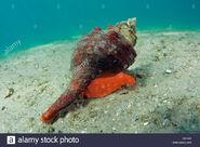 A-horse-conch-pleuroploca-gigantea-crawls-over-the-sandy-bottom-of-C6FK61