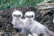 Bald Eaglets